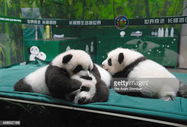 Giant panda triplets are seen at Chimelong Safari Park on November 5 2014 in Guangzhou China The world's only giant panda triplets open to public...