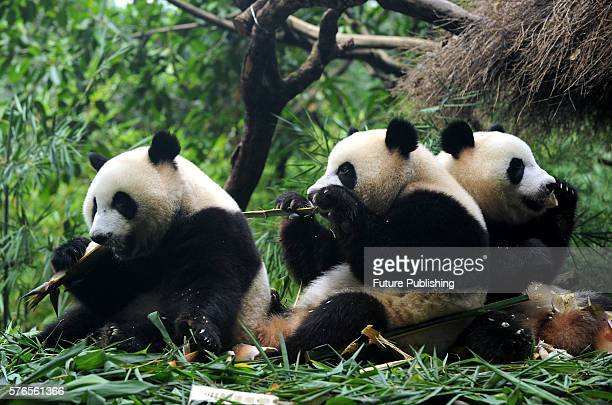 Giant panda triplets Mengmeng Shuaishuai and Kuku eat bamboo at Chimelong Safari Park on July 14 2016 in Guangzhou China The world's only surviving...