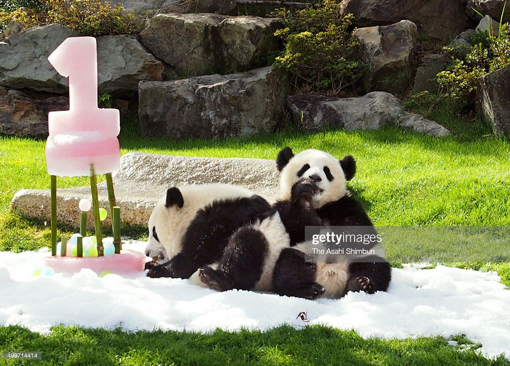 Giant panda twins Tohin and Ohin celebrate their first birthday at Adventure World on December 2, 2015 in Shirahama, Wakayama, Japan. The twin were born on December 2 last year.