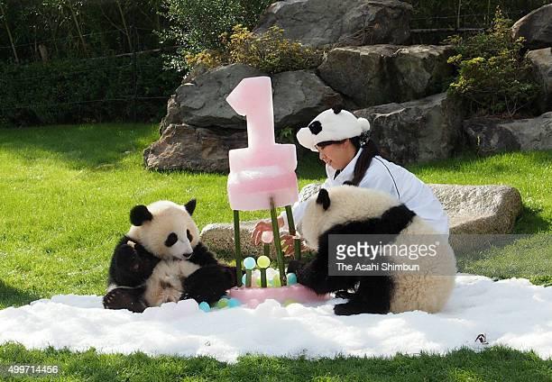 Giant panda twins Tohin and Ohin celebrate their first birthday at Adventure World on December 2 2015 in Shirahama Wakayama Japan The twin were born...