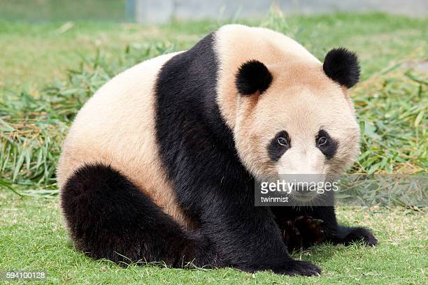 Giant panda, Wakayama Prefecture, Honshu, Japan