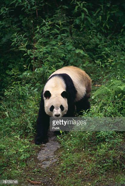 giant panda walking on forest floor - giant panda stock pictures, royalty-free photos & images
