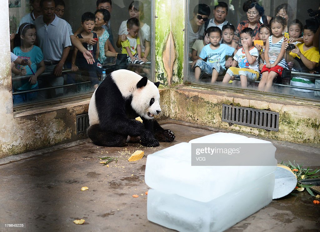 Giant panda Wei Wei eats a cake at Wuhan zoo on August 29, 2013 in Wuhan, China. Wuhan zoo held an event to celebrate panda Wei Wei's 8th birthday with a cake made from water, soybean, bamboo, corn, apple, and carrot.