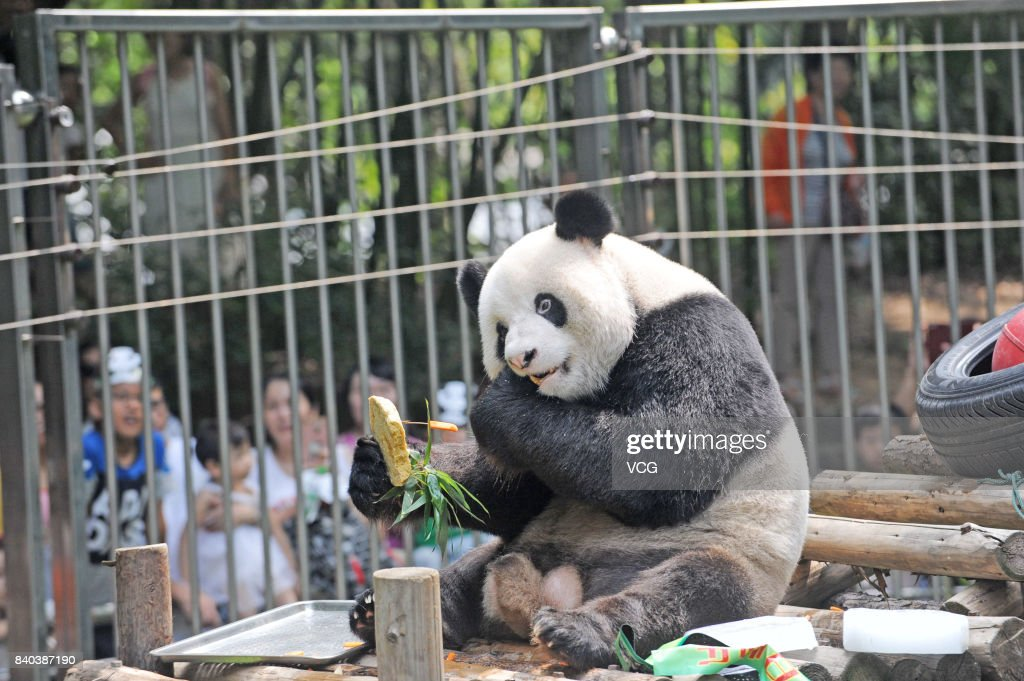 Giant Panda Wei Wei Celebrates 12th Birthday At Wuhan Zoo Photos And