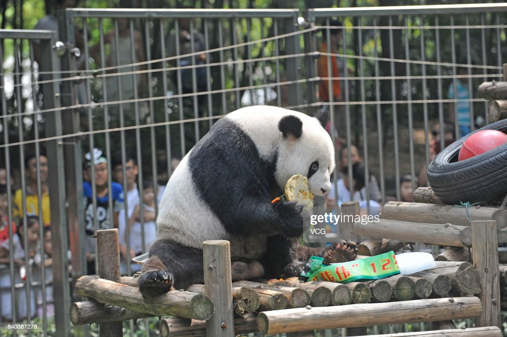 Giant Panda Wei Wei Eats Birthday Cake During Its 12th Birthday At