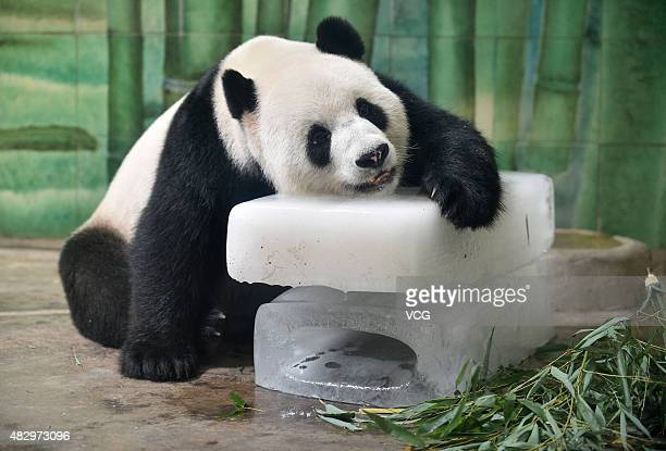 Giant panda Wei Wei rests on a block of ice to beat the heat at Wuhan Zoo on August 4 2015 in Wuhan China