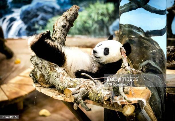 Giant Panda Wu Wen relaxes in her enclosure in Ouwehands Dierenpark in Rhenen on July 14 2017 Xing Ya and his female companion Wu Wen arrived in The...