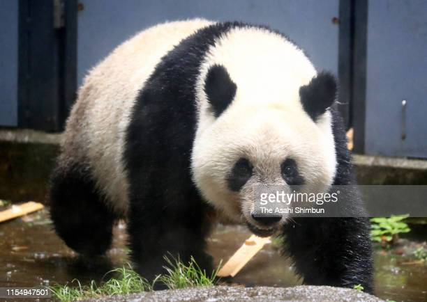 Giant panda Xiang Xiang is seen ahead of her 2nd birthday at Ueno Zoo on June 10 2019 in Tokyo Japan