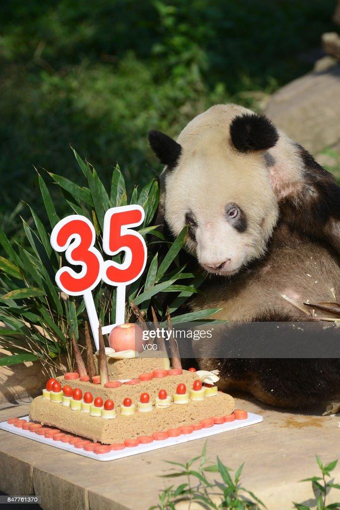 Giant Panda Xin Xing Eats Birthday Cake During 35th Birthday At