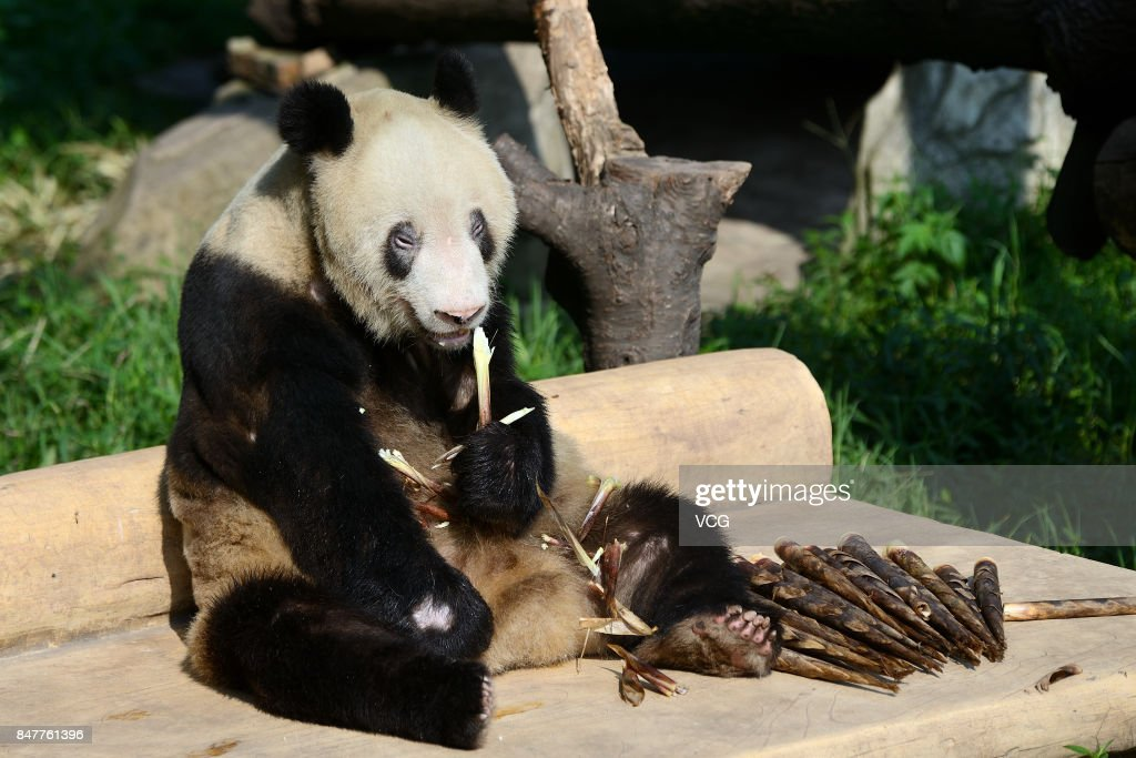 Fotos E Imagens De Giant Panda Xin Xing Celebrates 35th Birthday At