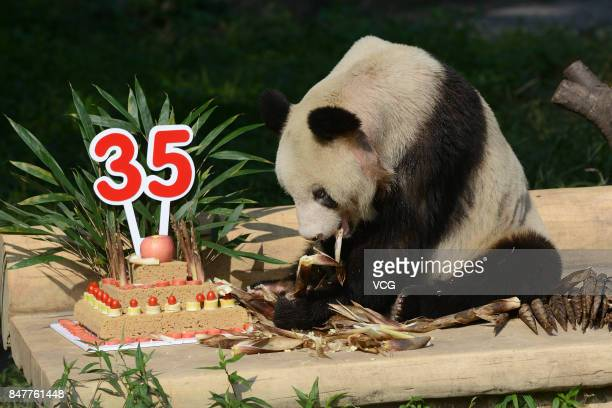 Giant panda Xin Xing eats birthday cake during 35th birthday at Chongqing Zoo on September 16 2017 in Chongqing China Visitors thronged Chongqing Zoo...