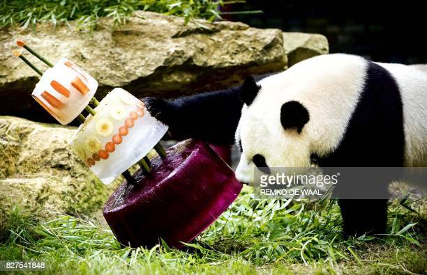 Giant panda Xing Ya celebrates his fourth birthday with an ice cake in Ouwehands Dierenpark zoo in Rhenen, on August 8, 2017. - Two Chinese giant...