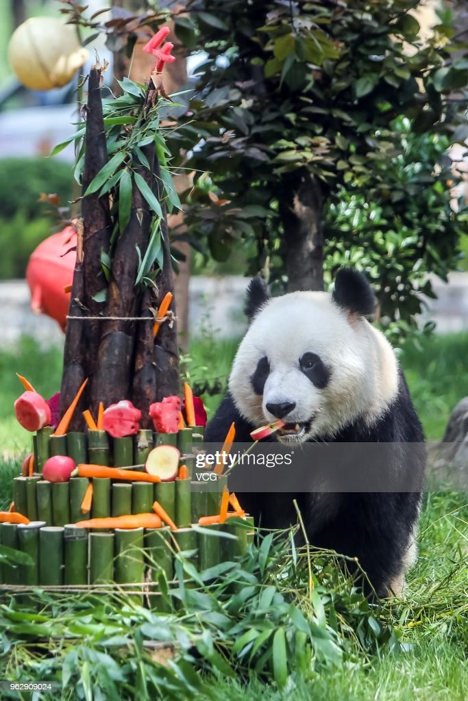 Giant Panda Yaji Welcomes 4th Birthday In Jinan
