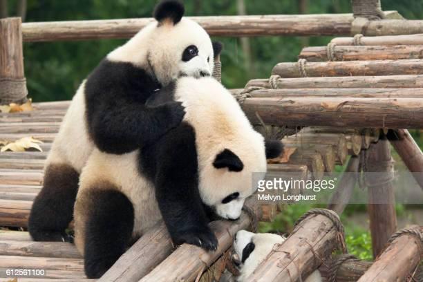 Giant pandas, Ailuropoda melanoleuca, Giant Panda Breeding Research Base, Chengdu, Sichuan Province, China