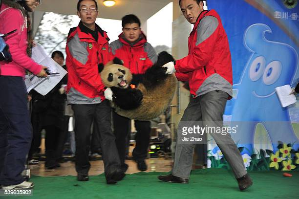 Giant pandas are seen before leaving for Shanghai at Bifengxia panda breeding centre in Ya'an Sichuan province January 5 2010 Ten giant pandas will...