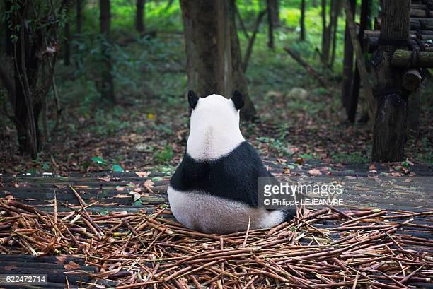 Giant panda's back sitting in the wood - Chengdu