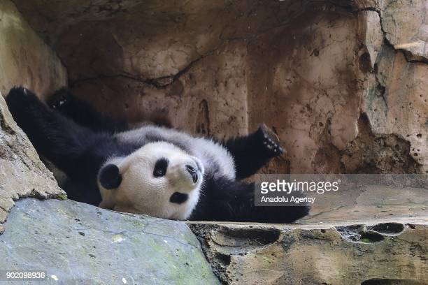 Giant pandas Cai Tao and Hu Chun are seen at Taman Safari zoo in Bogor Indonesia on January 5 2018 Cai Tao and Hu Chen arrived Indonesia in late...