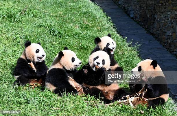 Giant pandas have fun during the early autumn at the Shenshuping Base of China Conservation and Research Center for Giant Panda on September 3, 2021...