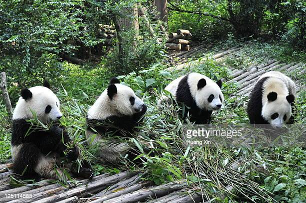 giant pandas in chengdu panda base, sichuan - giant panda stock pictures, royalty-free photos & images