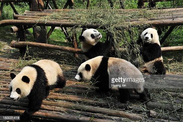 giant pandas - 四川省 ストックフォトと画像
