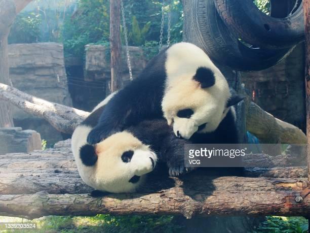Giant pandas play at Beijing Zoo on September 8, 2021 in Beijing, China.