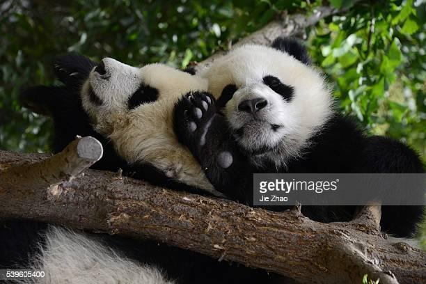 Giant Pandas play at Chengdu Research Base of Giant Panda Breeding in Chengdu Sichuan China on 11th May 2015