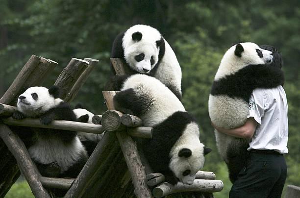 Chinese Giant Panda