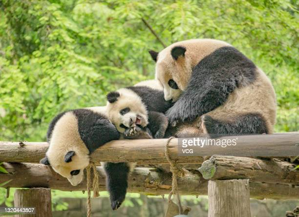 Giant pandas play at the Dujiangyan base of the China Conservation and Research Center for the Giant Panda on May 25, 2021 in Dujiangyan, Chengdu...