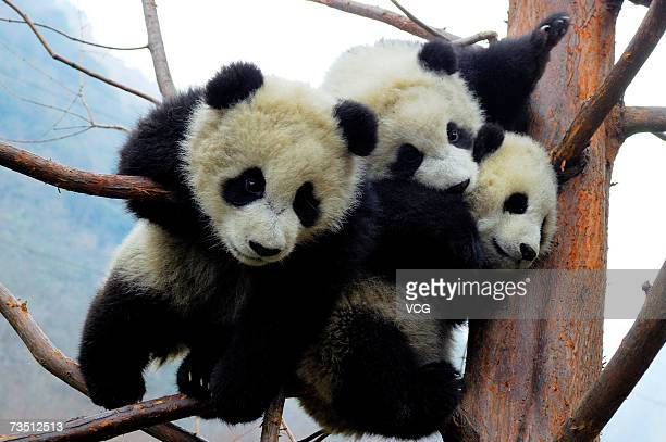 Giant pandas play in a tree at the Research and Conservation Center for Giant Panda in the Wolong Nature Reserve on March 6 2007 in southwest China's...