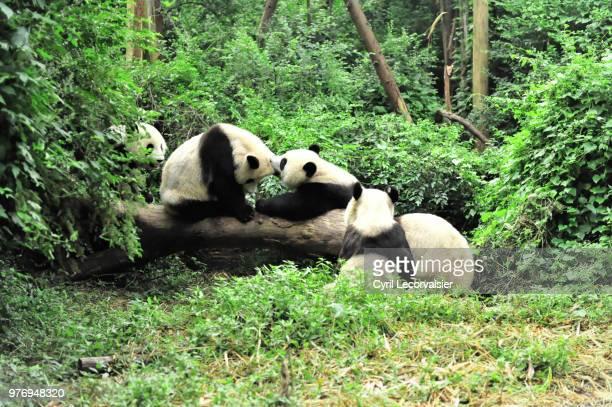 giant pandas (ailuropoda melanoleuca) playing in forest, chengdu, china - 四川省 ストックフォトと画像