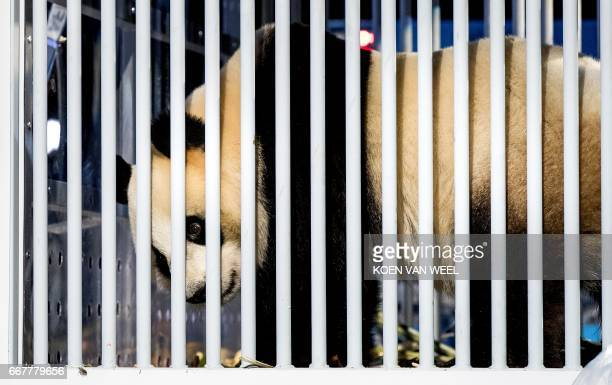 Giant pandas Wu Wen and Xing Ya arrive from China at Schiphol airport near Amsterdam on April 12 2017 The 35 year old pandas are staying at Ouwehand...