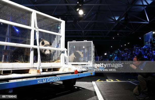 Giant pandas Wu Wen and Xing Ya arrive from China at Schiphol on April 12 2017 The 35 year old pandas are staying at Ouwehand Zoo in Rhenen / AFP...