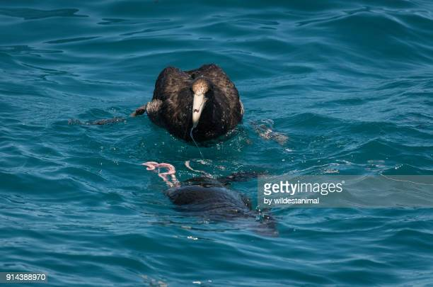 giant petrel feeding on a dead cape fur seal just outside the town of langebaan, south africa. - albatros stock-fotos und bilder