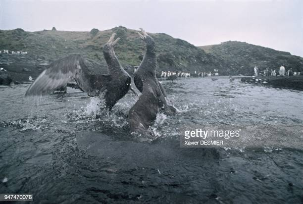 Giant petrels fighting over food by striking out with their beaks wings and crying out Many fights break out between petrels during quarries With a...