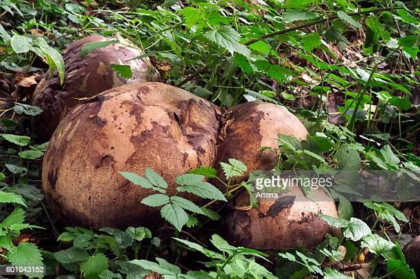 Giant puffball fungus