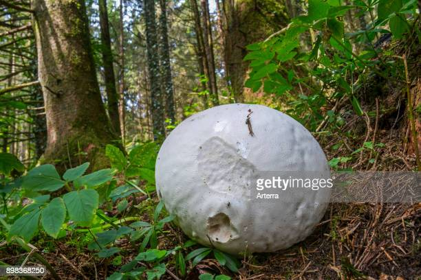 Giant puffball on the forest floor in late summer