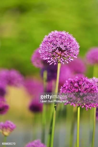 giant purple allium flower field