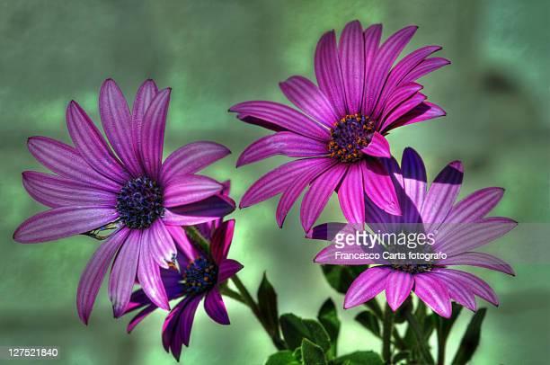 giant purple daisies - tempio pausania stock-fotos und bilder