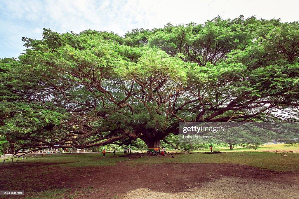 Resultado de imagem para samanea giant