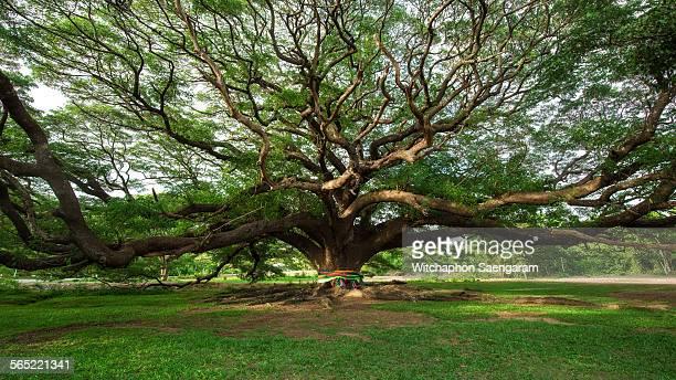 giant rain tree, kanchanaburi province, thailand - big bulge stock pictures, royalty-free photos & images