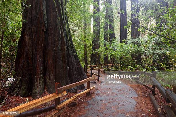 giant redwood and path in john muir woods - muir woods stock photos and pictures