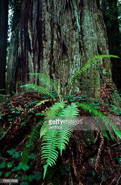 giant redwood tree trunk (sequoia sempervirens) and fern, usa - big bottom stock pictures, royalty-free photos & images