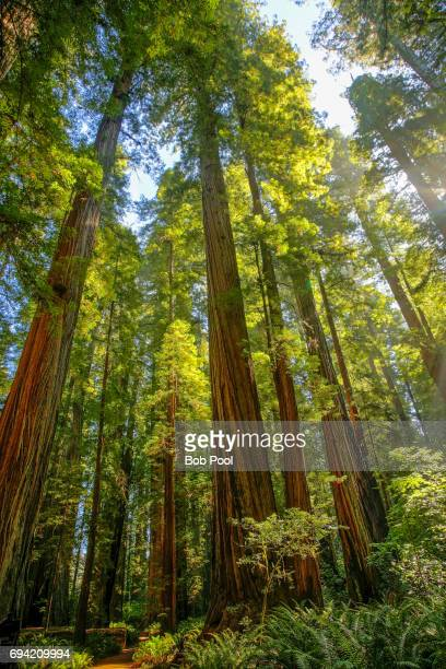 Giant redwood trees in the Redwood National and State Parks.
