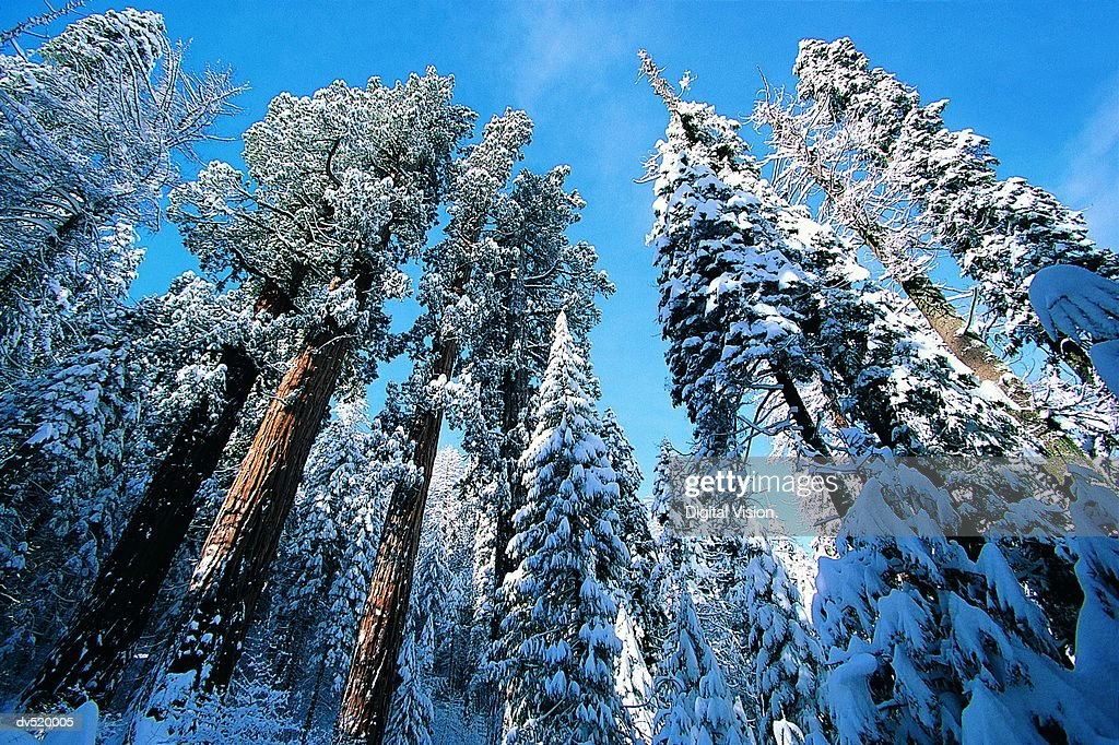 Giant Redwoods in winter, Sequoia National Park, California, USA : Stock Photo
