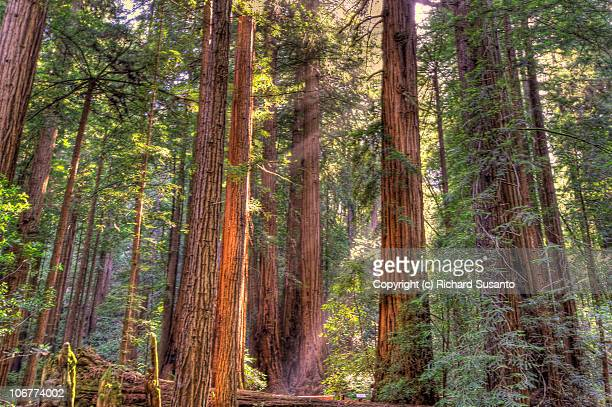 giant redwoods - muir woods stock photos and pictures