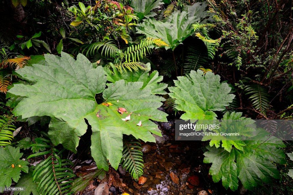 Giant rhubarb (Gunnera manicata) in the temperate rainforest, Parque Pumalin, Region de los Lagos, Chile : Stock Photo