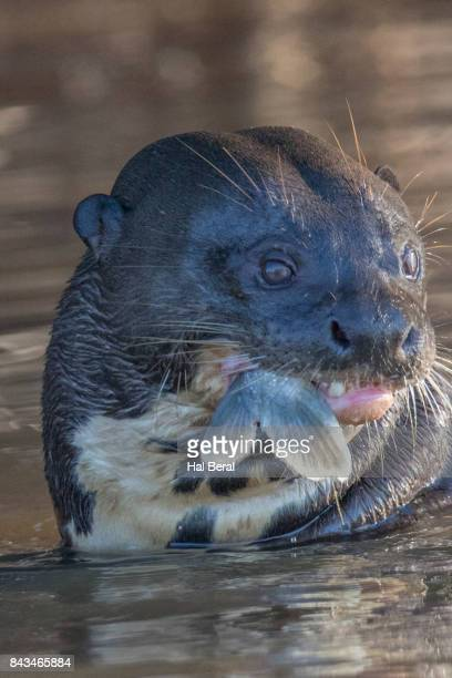 giant river eating a fish until only the tail remains - giant otter stock pictures, royalty-free photos & images