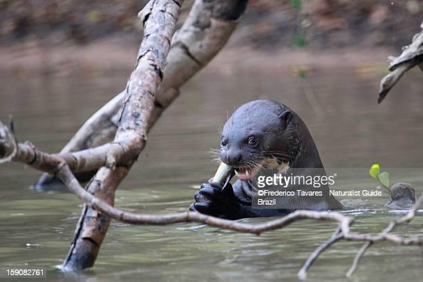 Giant River Otter - Ariranha