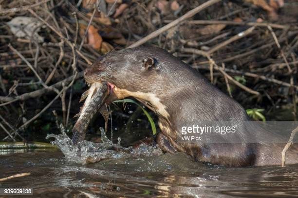 Giant River Otter catching a fish Pantanal, Brazil.