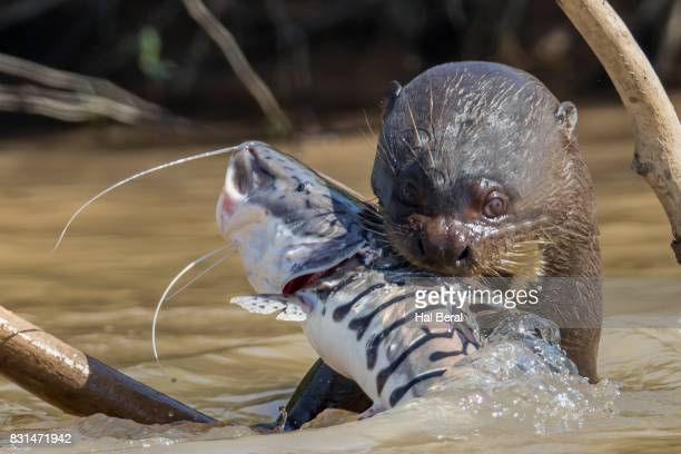 Giant River Otter catching a large fsh